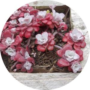 redsucculent1small